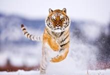 22张大型猫科动物的摄影照片