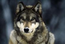 76张关于狼的摄影照片
