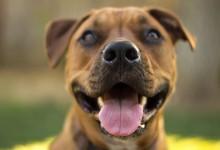 40张不错的斗牛犬的摄影照片