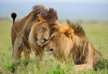 20张丛林之王狮子的摄影照片