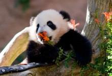 22张可爱的熊猫宝宝摄影照片