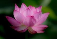 45张漂亮的莲花摄影照片