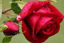 25个以红玫瑰为主题的桌面壁纸下载