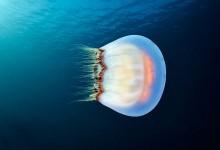 20张关于水母的漂亮摄影照片