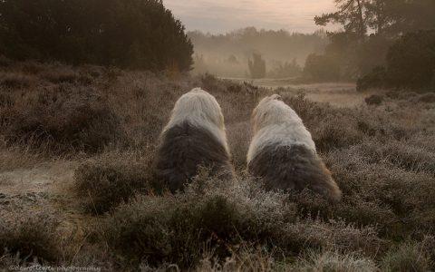 24张可爱的牧羊犬姐妹摄影照片