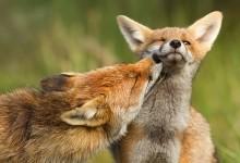 11张关于狐狸之恋的摄影