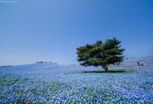 日本日立海滨公园的花海摄影欣赏