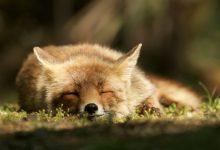 25张荷兰沙丘狐狸摄影照片欣赏