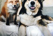 当狗狗爱上狐狸