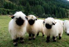 这些羊是可爱的还是可怕的