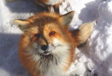 探访日本的狐狸村庄