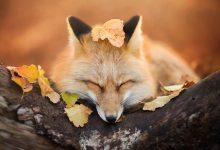 10张超级迷人的狐狸摄影照片欣赏