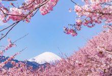 10张绽放日本小镇樱花摄影照片欣赏