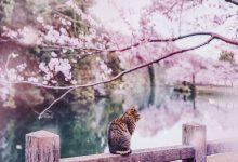 25张漂亮的日本樱花摄影照片欣赏